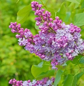 Syringa vulgaris - 'Krasavitsa Moskvy' - Photo by: Maknad