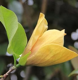 Magnolia Tree Types Planting Care Garden Design