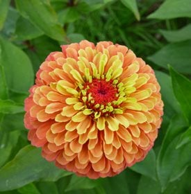 Zinnia elegans ' Queeny Lime Orange' - All America Selections.