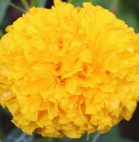 Tagetes erecta 'First Lady' - Wonderplay / Shutterstock.