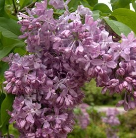Syringa vulgaris 'Lavender Lady' - Photo by: Rock Giguere / Millette Photomedia