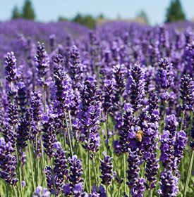Growing Lavender Planting Caring Buy Lavender Plants Garden