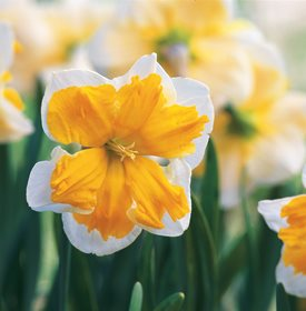 Narcissus 'Sovereign'