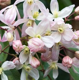 Clematis armandii 'Apple Blossom' - Garden World Images Ltd / Alamy Stock Photo.