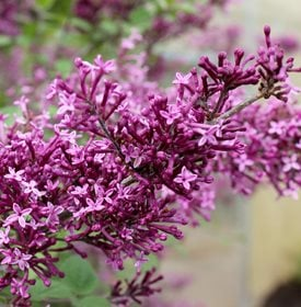 Syringa Bloomerang Purple Lilac - Photo by: Spring Meadow Nursery / Proven Winners.