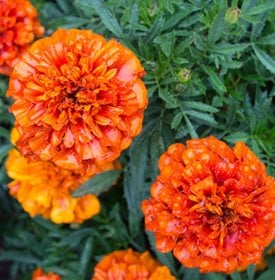 Tagetes patula 'Fireball' - Frank Richards / Millette Photomedia.