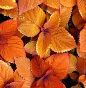 Campfire Coleus - Photo by: Feng Yu / Shutterstock.