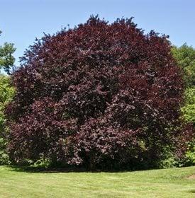 Purple Leaf Plum Trees Growing Care 6 Common Varieties