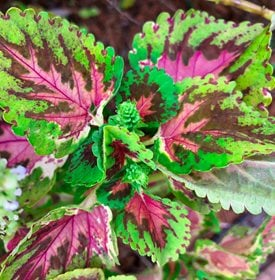 Watermelon Coleus - Photo by: Jaimie Tuchman / Shutterstock.