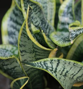 S. trifasciata 'Twisted Sister'