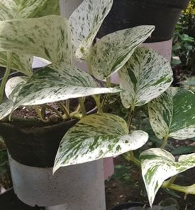 Marble Queen Pothos, Variegated Foliage Shutterstock.com New York, NY