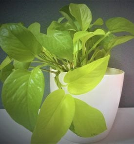 Neon Pothos, Chartreuse Leaves, Houseplant Shutterstock.com New York, NY