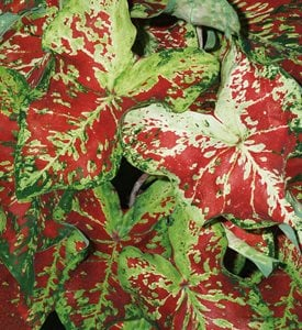 'Mesmerized' caladium - Photo by: Proven Winners.