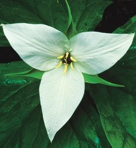 TRILLIUM SIMILE - Photo by: J. Paul Moore.