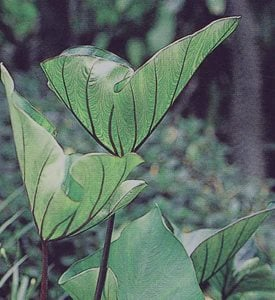 Colocasia Coffee Cups - Photo by: Proven Winners.