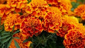 "Marigold Flowers, Orange ""Dream Team's"" Portland Garden Pixabay ,"