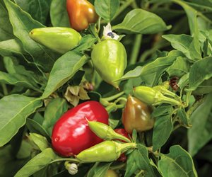 Fire Away Hot and Heavy peppers