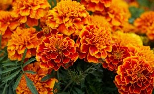 Marigold Flowers, Orange Pixabay