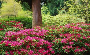 Flower Garden Designs no fuss bird and butterfly garden plan Rhododendron Orbiculare Rhododendron Species Botanical Garden Federal Way Wa