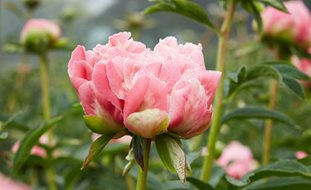 Pink Hawaiian Coral, Herbaceous Peony Garden Design Calimesa, CA