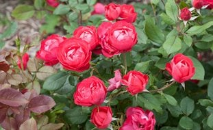 Oso Easy Rose, Rose Of The Year Proven Winners Sycamore, IL
