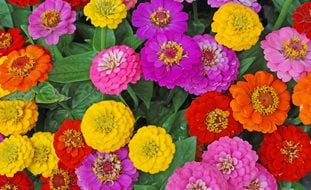 Zinnia Flowers, Mixed Flowers Shutterstock.com New York, NY