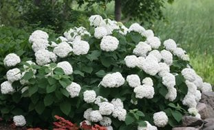 Incrediball Hydrangea, Hydrangea, White Flower, Flowering Shrub Desert Garden Succulents & Cacti Proven Winners Sycamore, IL