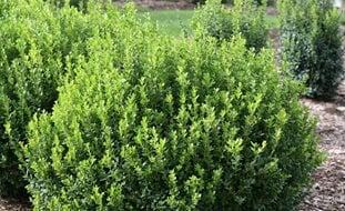 Sprinter Boxwood, Buxus Microphylla Proven Winners Sycamore, IL