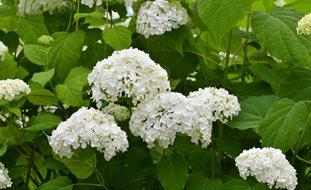 hydrangea arborescens annabelle white flower shutterstockcom new york ny