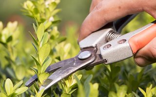 Trimming Boxwood, Pruning Boxwood, Hand Clippers Shutterstock.com New York, NY
