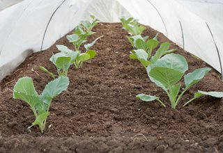 Cabbage Seedlings, Growing Under Cover, Growing Cabbage In Winter 7 Elegant Watering Essentials Shutterstock.com New York, NY