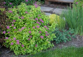 Double Play Gold Spirea, Spirea Bush Proven Winners Sycamore, IL