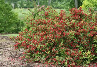 Reblooming Weigela, Red Weigela Proven Winners Sycamore, IL