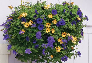 Summer Sunset Plant Recipe, Orange Symphony African Daisy, Royal Velvet Supertunia, Dark Blue Superbena Proven Winners Sycamore, IL