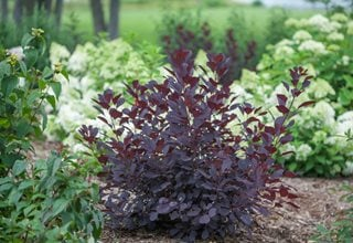 Winecraft Black Smoke Bush, Cotinus Coggygria, Purple Leaves Proven Winners Sycamore, IL