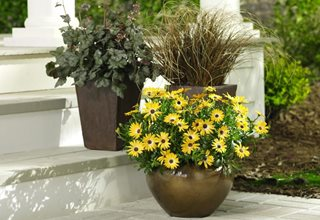 African daisy fall container