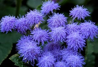 Blue Mink Floss Flower, Ageratum Houstonianum Shutterstock.com New York, NY