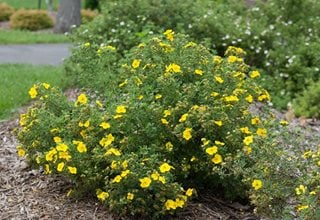 Potentilla How To Grow And Care For Shrubby Cinquefoil
