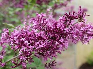 "Bloomerange Dark Purple Lilac, Syringa Vulgaris, Purple Flowers ""Dream Team's"" Portland Garden Proven Winners Sycamore, IL"