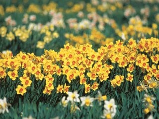 "Daffodil Drift, Narcissus ""Dream Team's"" Portland Garden Brent and Becky's Bulbs Gloucester, VA"