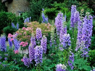 "Delphinium, Pacific Giant Hybrid, Purple Flowers ""Dream Team's"" Portland Garden Alamy Stock Photo Brooklyn, NY"