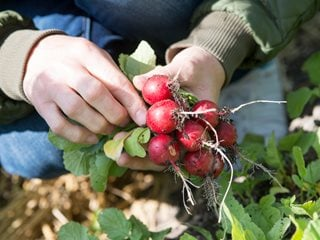 "Fall Planting, Vegetable Planting, Radishes ""Dream Team's"" Portland Garden Alamy Stock Photo Brooklyn, NY"