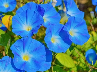 "Ipomoea Tricolor, Heavenly Blue, Blue Flowers ""Dream Team's"" Portland Garden Shutterstock.com New York, NY"