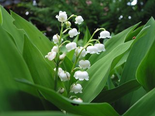 "Lily Of The Valley, Fragrant White Flower ""Dream Team's"" Portland Garden Pixabay ,"