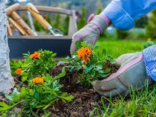 "Planting Marigolds, Orange Annuals ""Dream Team's"" Portland Garden Shutterstock.com New York, NY"