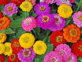 "Zinnia Flowers, Mixed Flowers ""Dream Team's"" Portland Garden Shutterstock.com New York, NY"