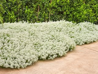 Alyssum Flowers, Alyssum Ground Cover Proven Winners Sycamore, IL