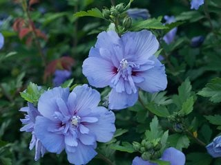 Blue Chiffon® rose of Sharon