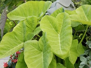Elephant Ear, Xanthosoma Alamy Stock Photo Brooklyn, NY