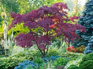 Fireglow, Japaense Maple Garden Design Calimesa, CA